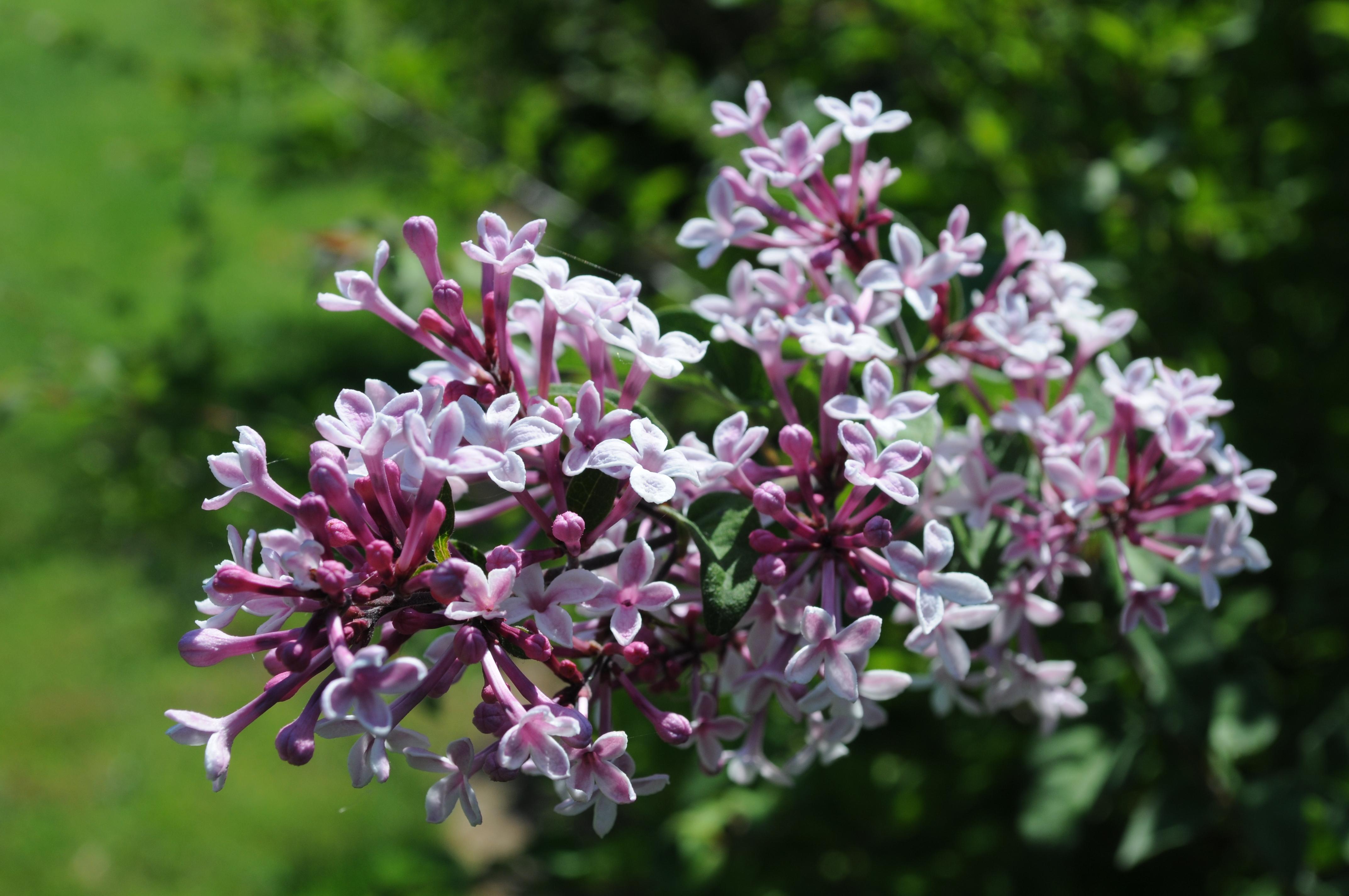 [Image: Syringa_microphylla_%27Superba%27_flower...ardens.jpg]