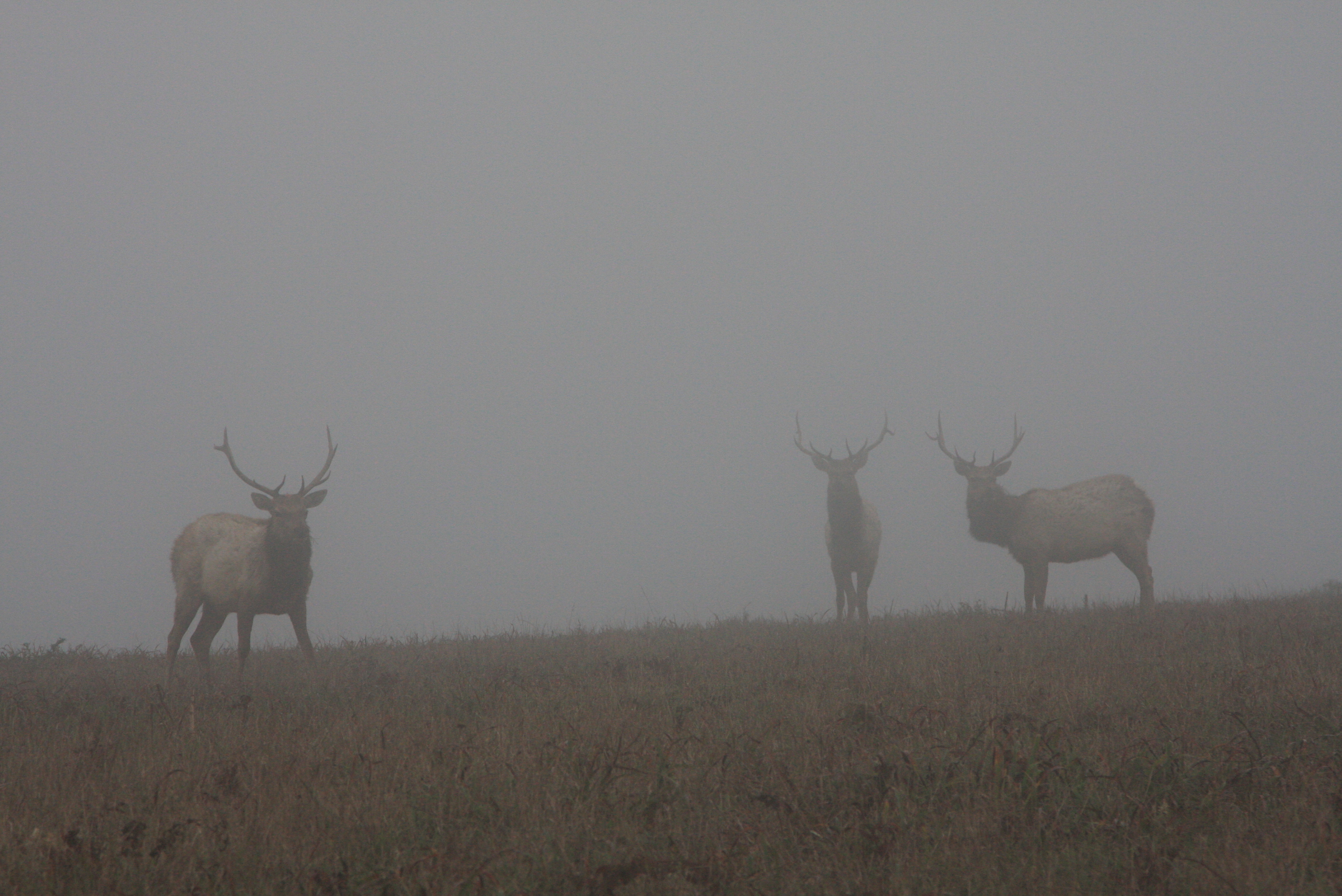 http://upload.wikimedia.org/wikipedia/commons/8/8c/Tule_Elks_in_Fog.jpg