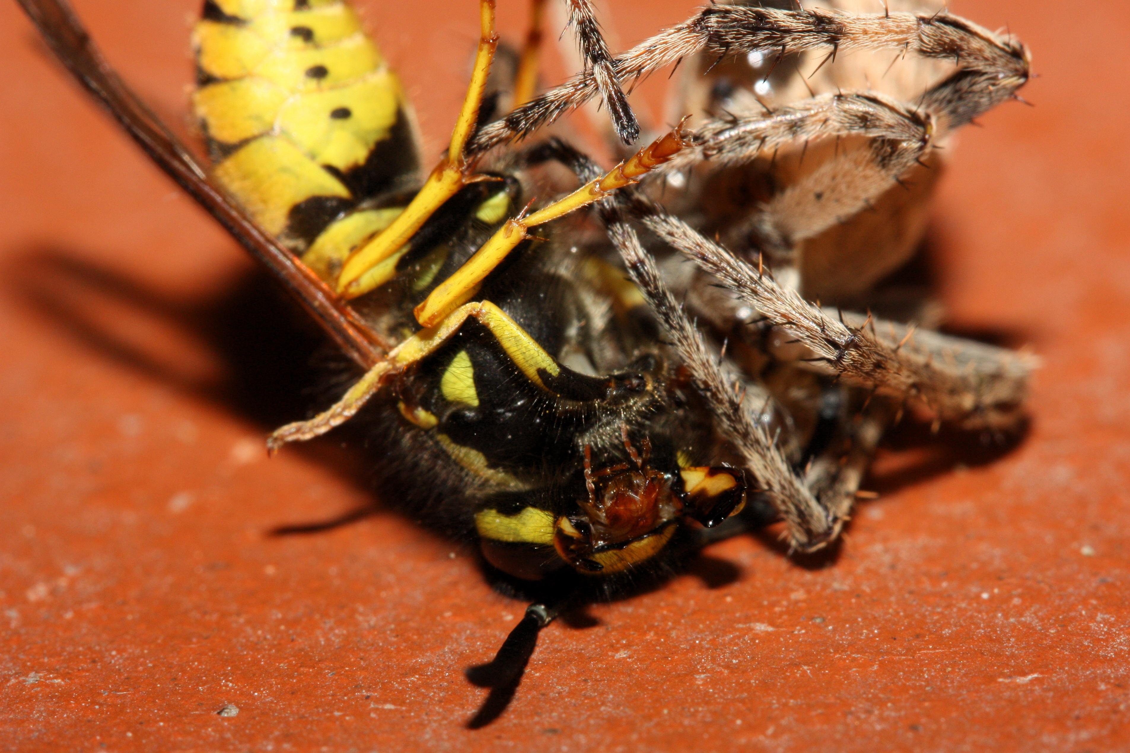 brazilian wandering spider size