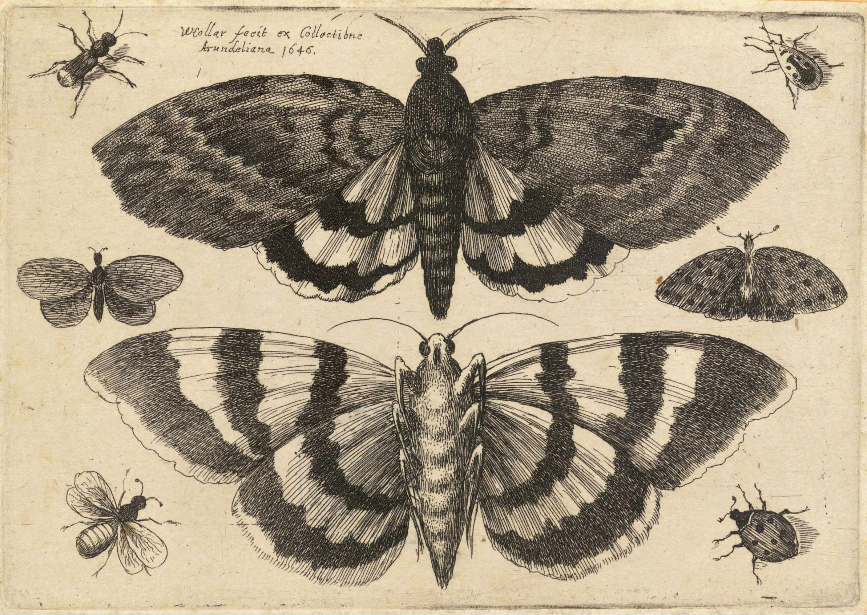 File:Wenceslas Hollar - Two moths and six insects (State 1