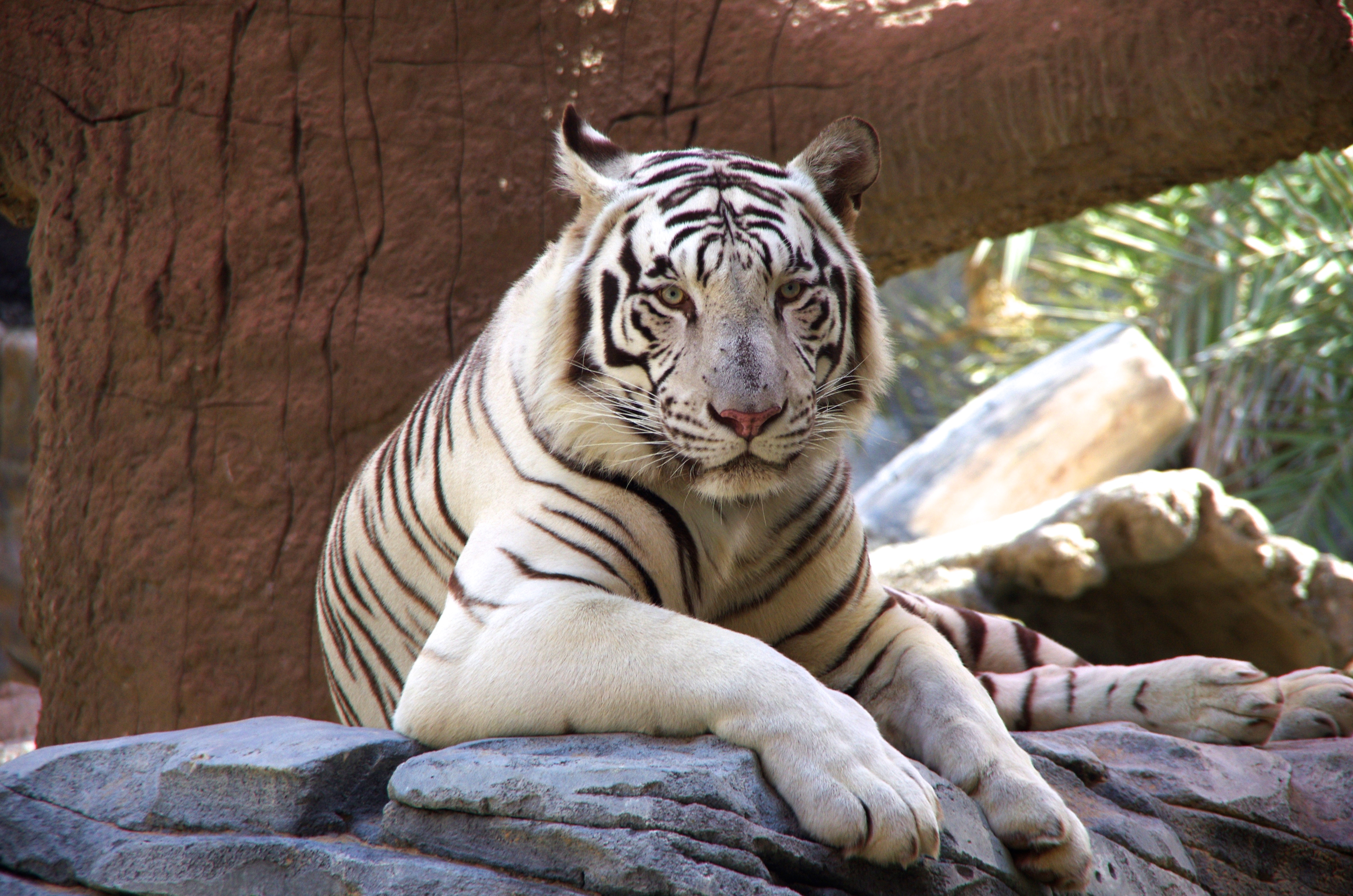 white tiger essay The white tiger essay 'the white tiger', the author begins to exploit the main reasons why people are treated so differently in our community today.