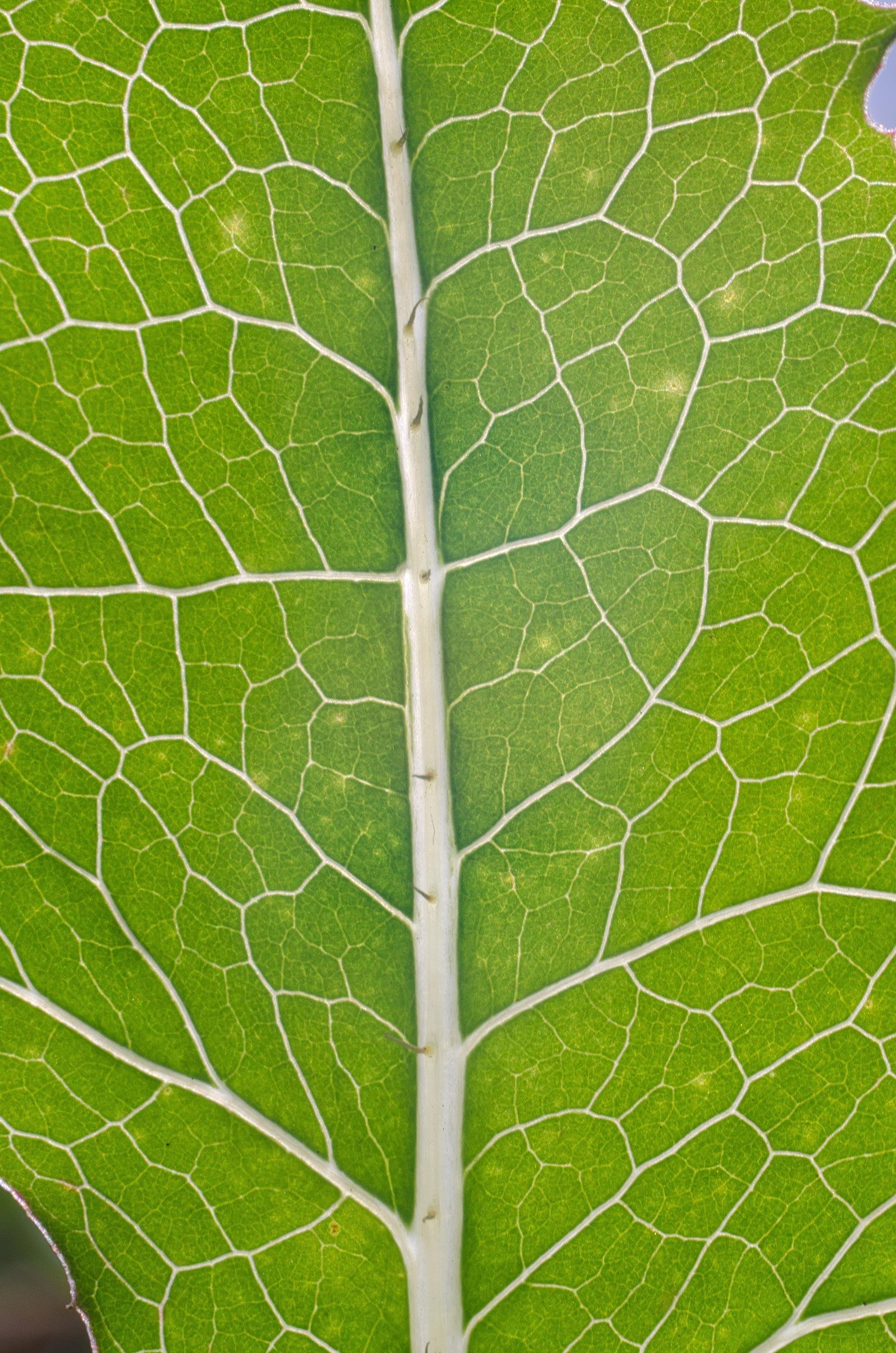 commons photo challenge 2016 july leaf veins voting wikimedia commons. Black Bedroom Furniture Sets. Home Design Ideas