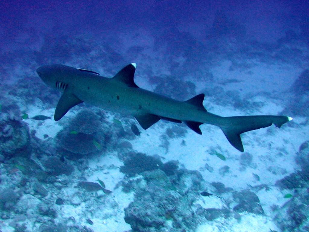White Tip Reef Shark Food Chain