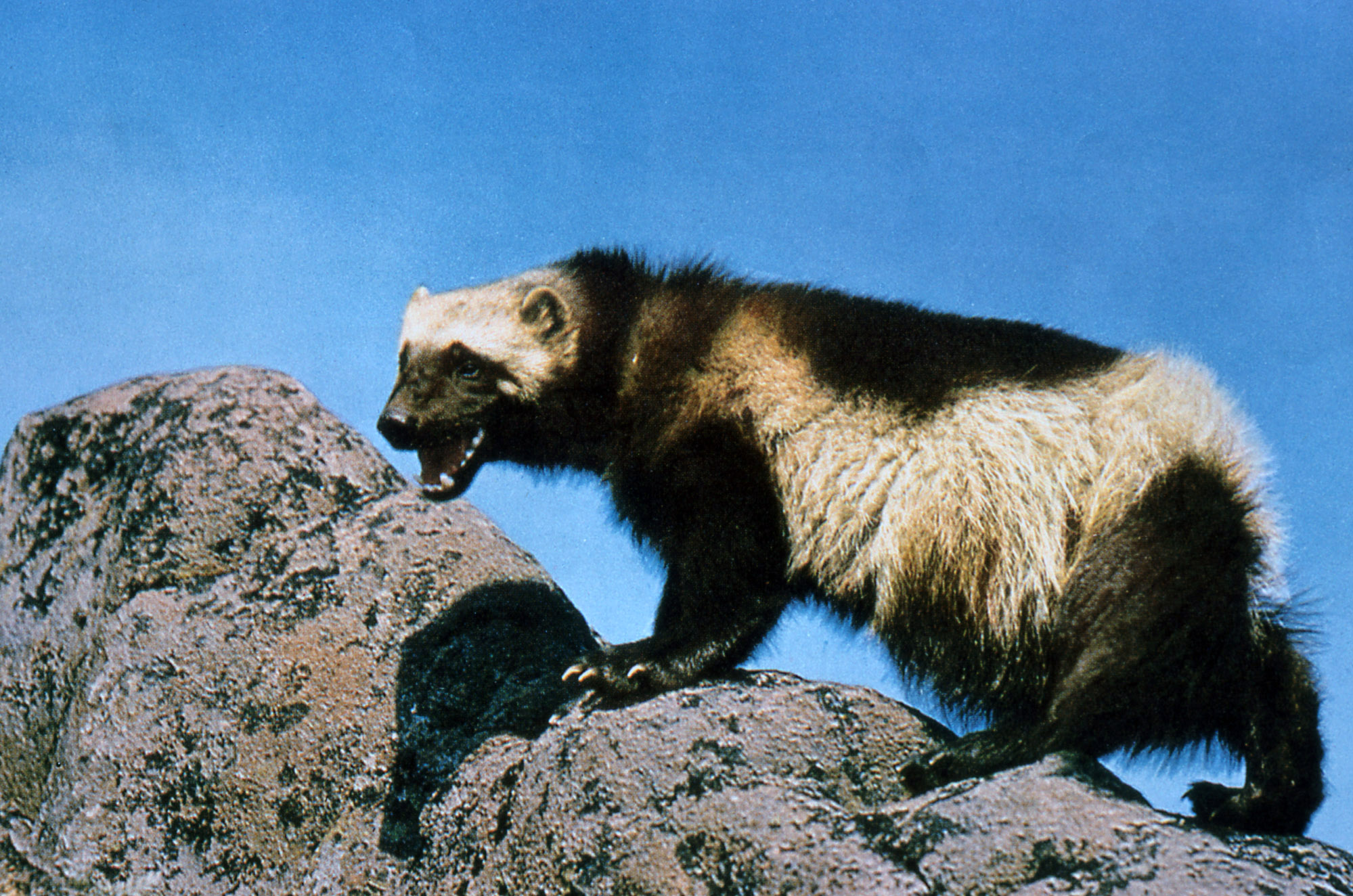 https://upload.wikimedia.org/wikipedia/commons/8/8c/Wolverine_on_rock.jpg