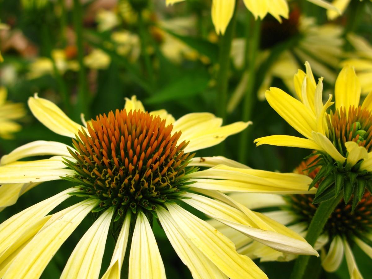 Fileyellow Cone Flowers West Virginia Forestwanderg