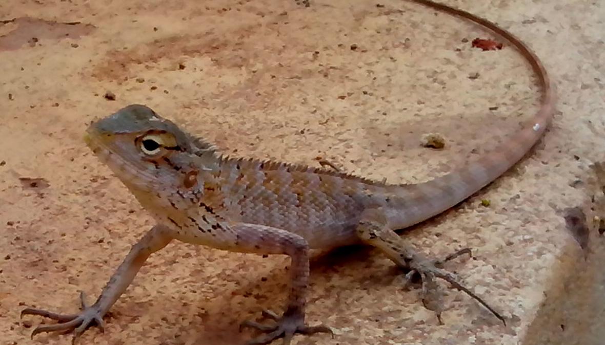 File:(Calotes Versicolor) Garden Lizard At Madhurawada