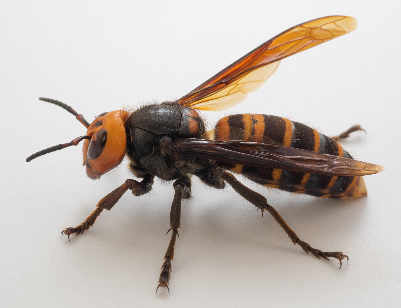 Repellente Naturale Per Vespe vespa mandarinia - wikipedia