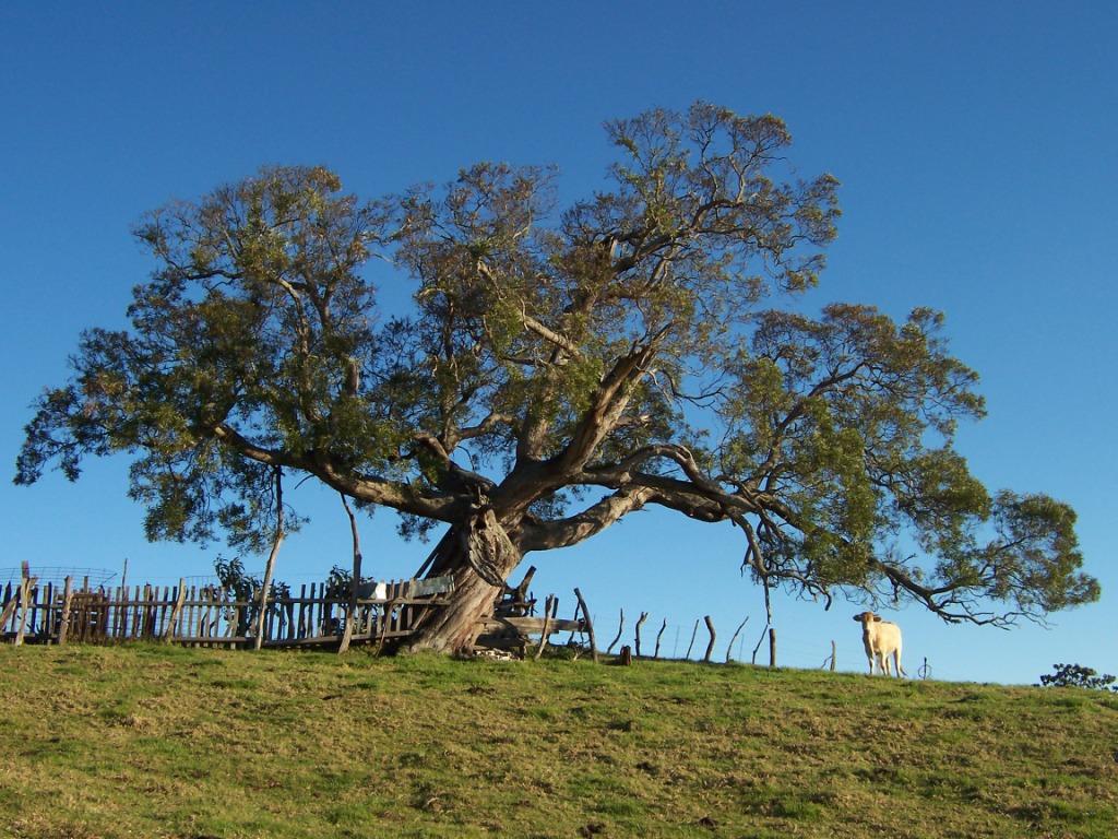 Akacja wikipedia wolna encyklopedia for Acacia albero