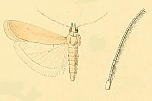 <i>Ancylosis</i> Genus of moths