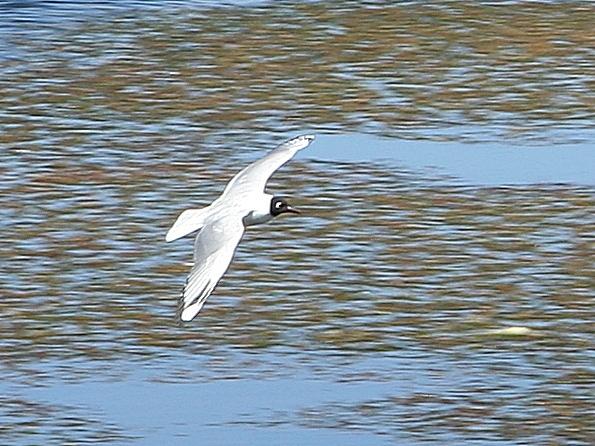 Ficheiro:Andean Gull 01.jpg