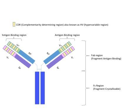 Four Antibodies That React At Room Temperature