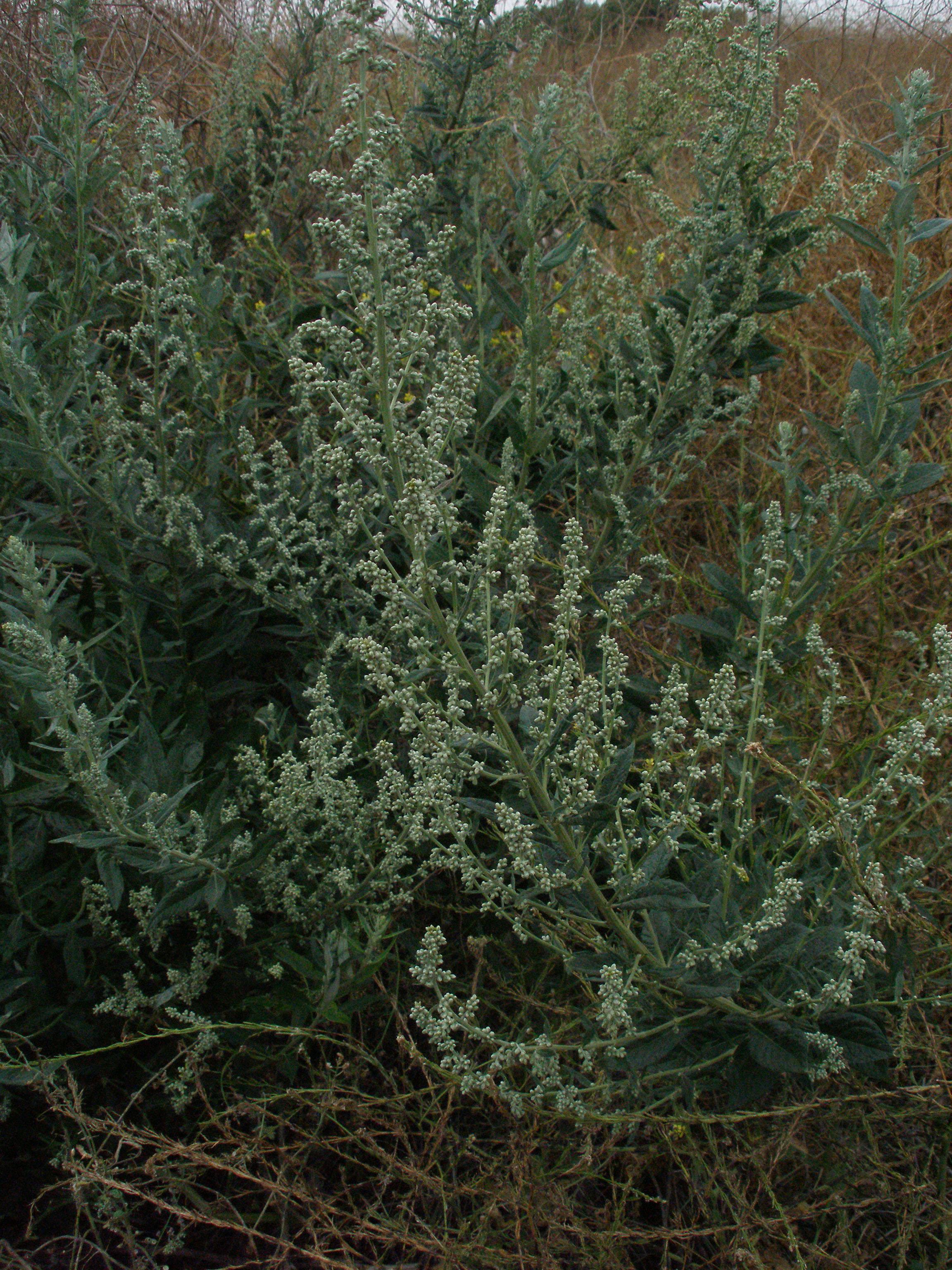 Artemisia douglasiana