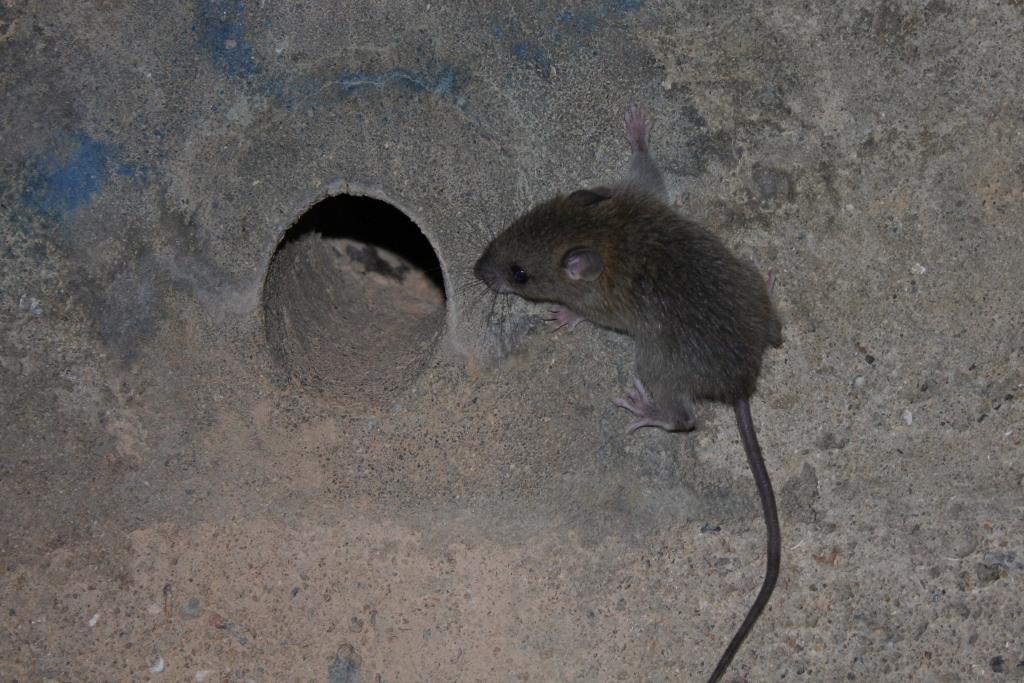 Strange File Asian House Rat Rattus Tanezumi Maybe 6747991715 Home Interior And Landscaping Ologienasavecom