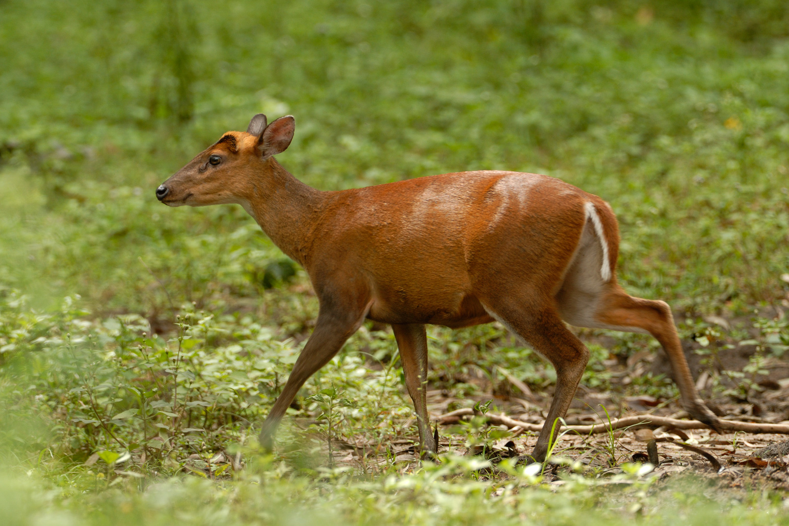 https://upload.wikimedia.org/wikipedia/commons/8/8d/Barking_deer_in_BR_hills.jpg