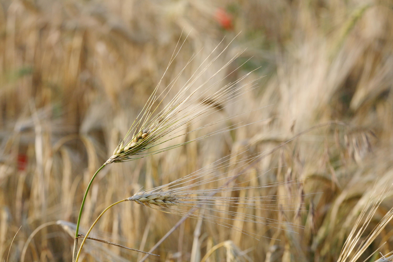 Barley Deutsch