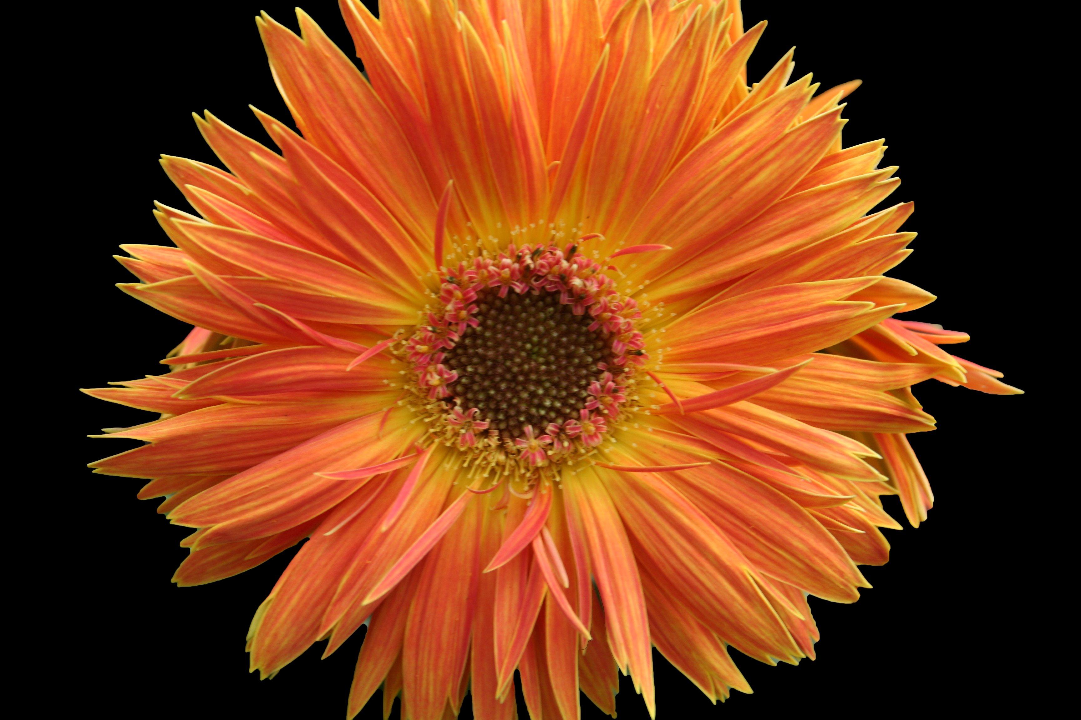 Filebeautiful orange daisy flower west virginia forestwander filebeautiful orange daisy flower west virginia forestwanderg izmirmasajfo