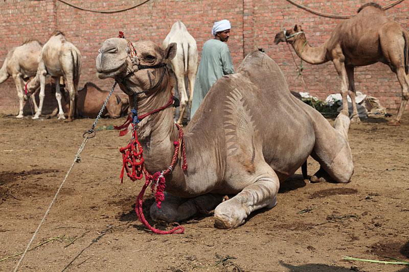 A Birqash market camel.