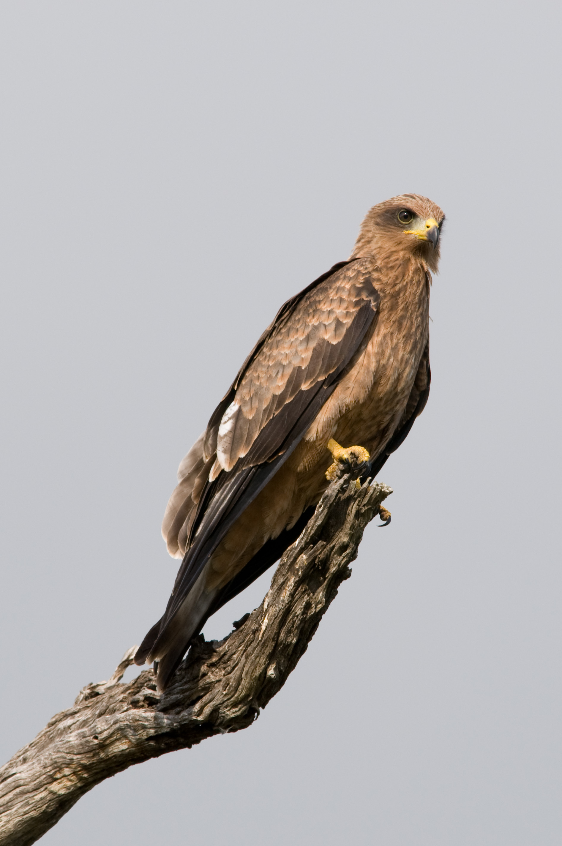 https://upload.wikimedia.org/wikipedia/commons/8/8d/Black_Kite_2364818940.jpg