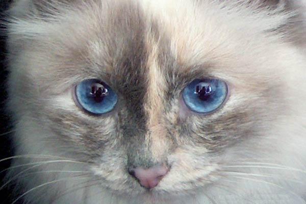 birma modře želvovinová colorpoint
