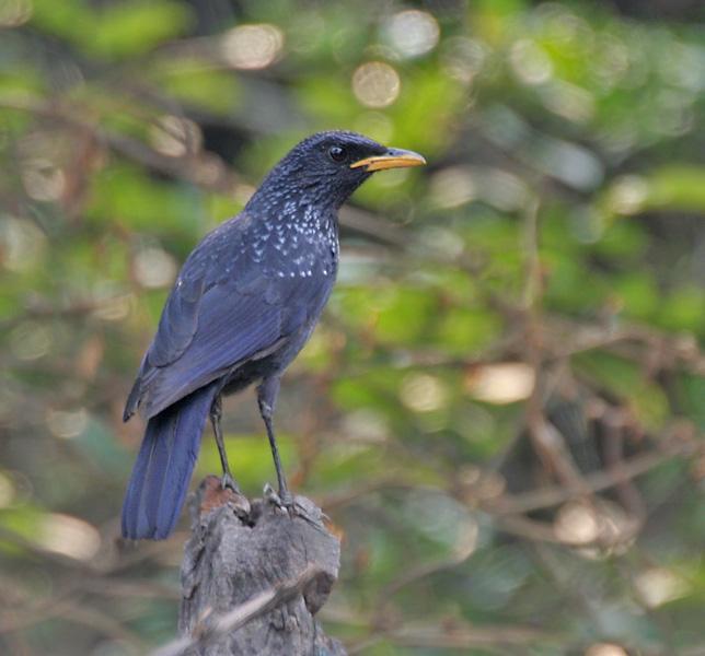 Синяя птица фото