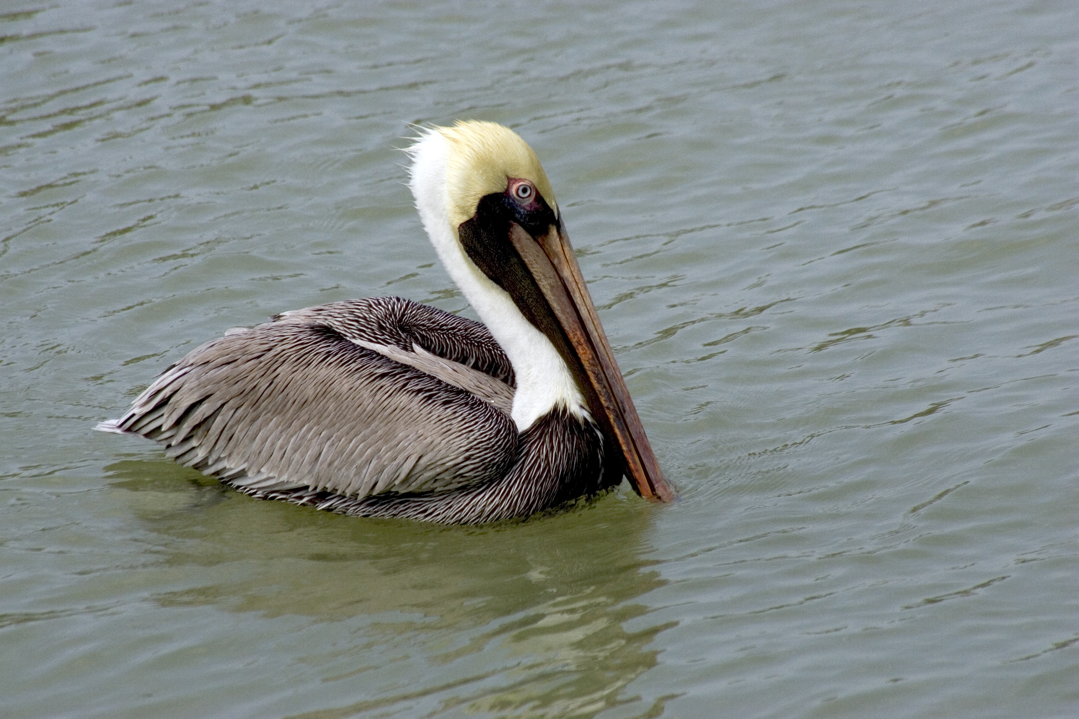 File Brown Pelican 2 Npsphoto R Cammauf 9099307865