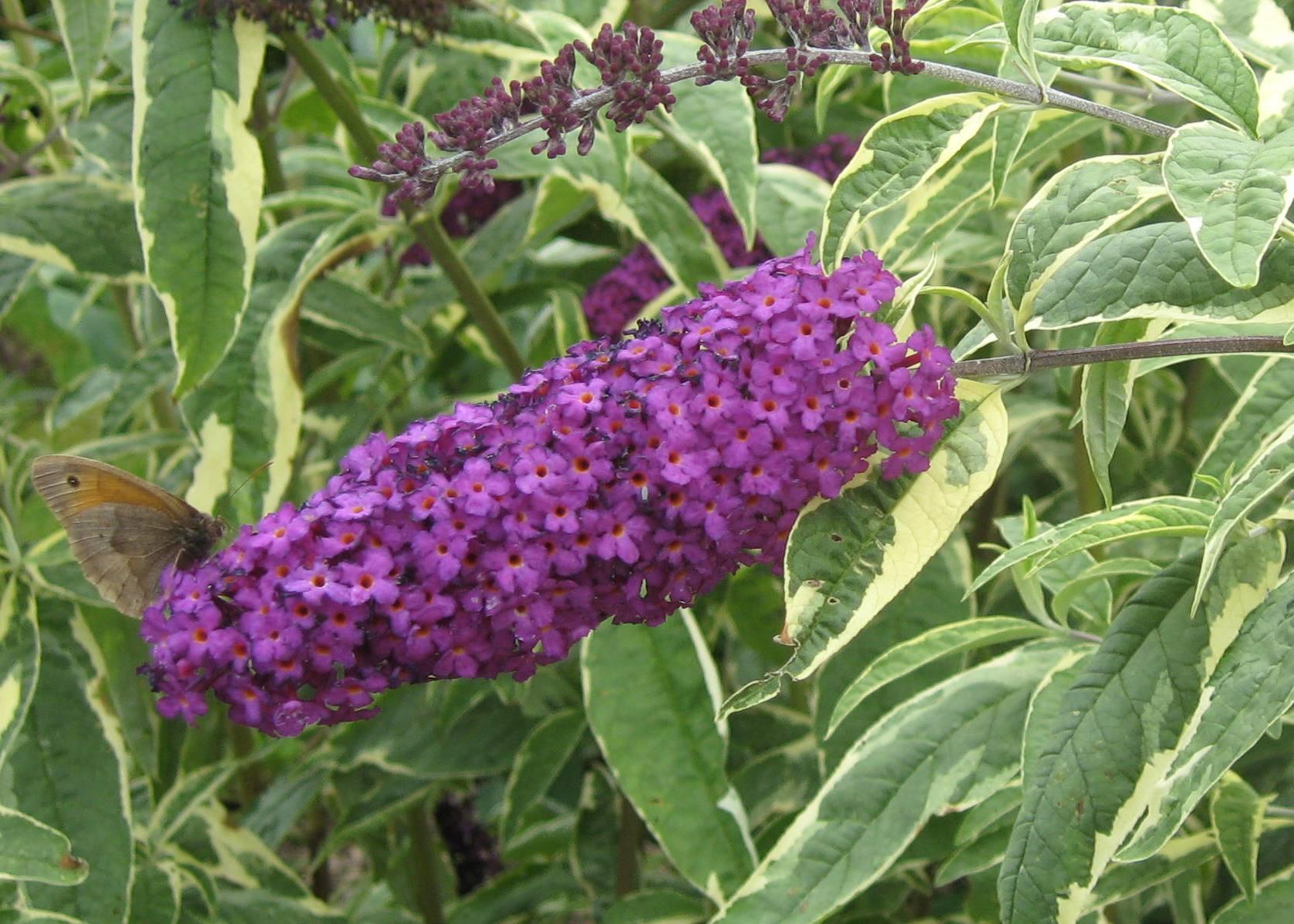 Picture of Live Butterfly Bush (varigtd) aka Buddleia dav. 'Harlequin' Plant Fit 5 Gallon Pot