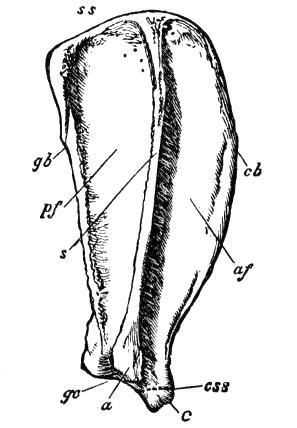 File:Cambridge Natural History Mammalia Fig 025.png
