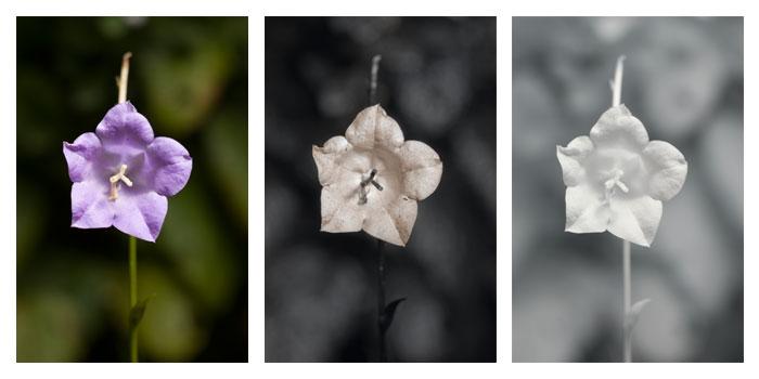 filecampanula persicifolia 'telham beauty' flower vis uv ir, Beautiful flower