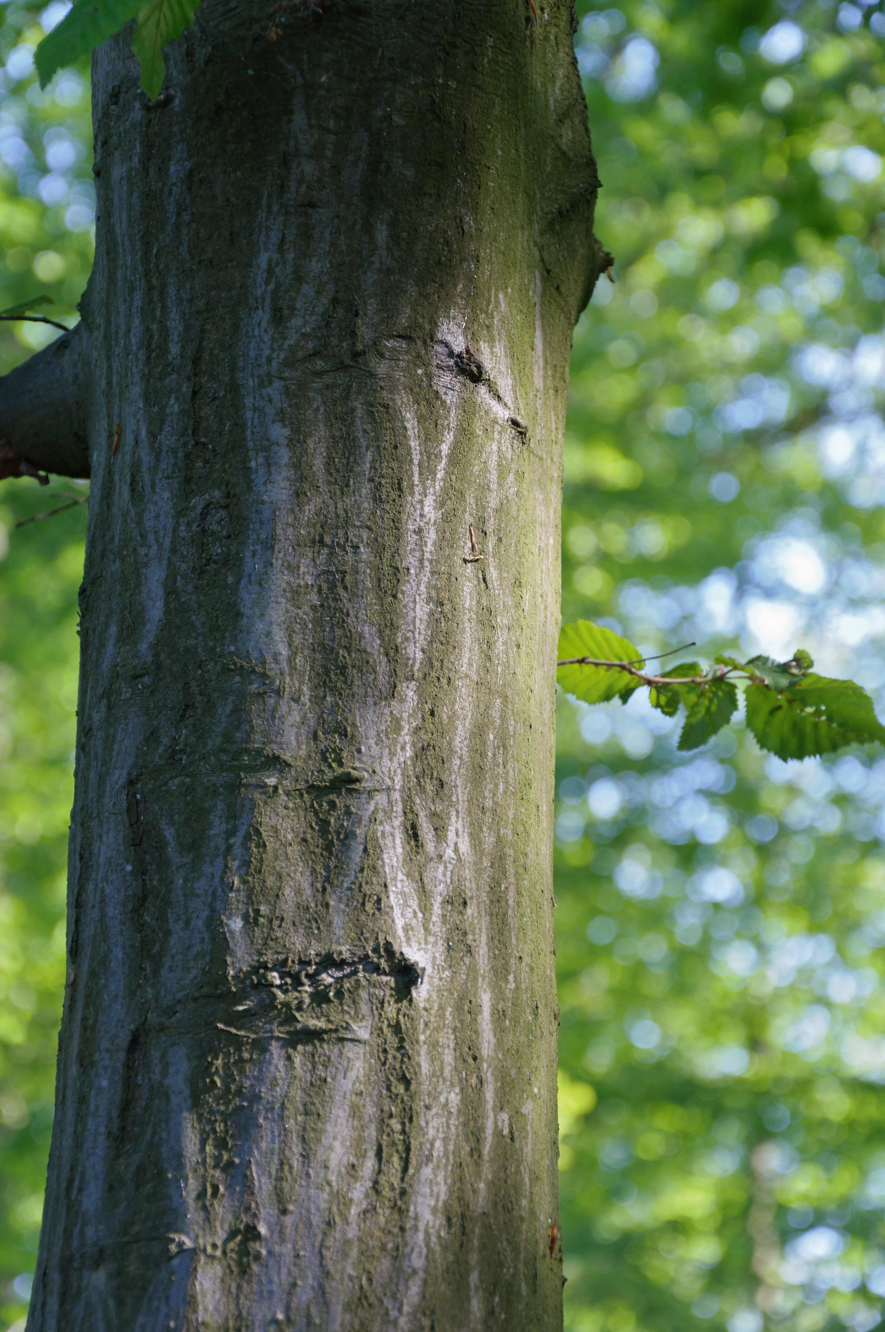 Description carpinus betulus charme tronc