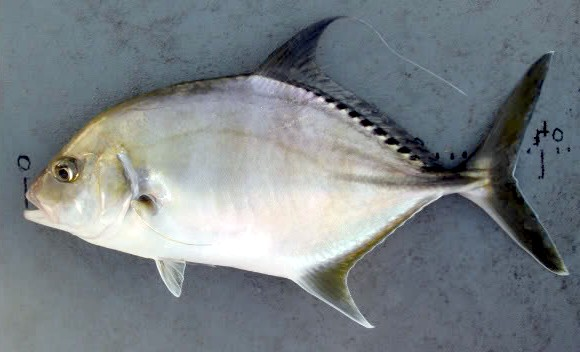 Bigeye Trevally | Mexico – Fish, Birds, Crabs, Marine Life ...