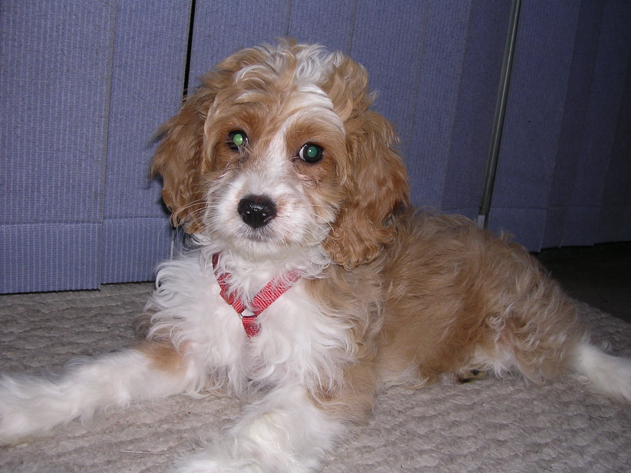 Small Dogs For Sale Perth