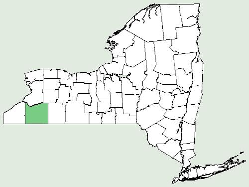File:Cynanchum laeve NY-dist-map.png - Wikimedia Commons