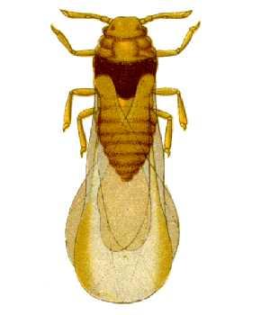 http://upload.wikimedia.org/wikipedia/commons/8/8d/Daktulosphaira_vitifoliae_from_CSIRO.jpg