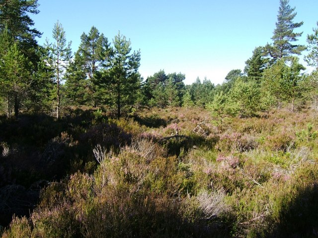 Deep heather in Abernethy Forest - geograph.org.uk - 522099