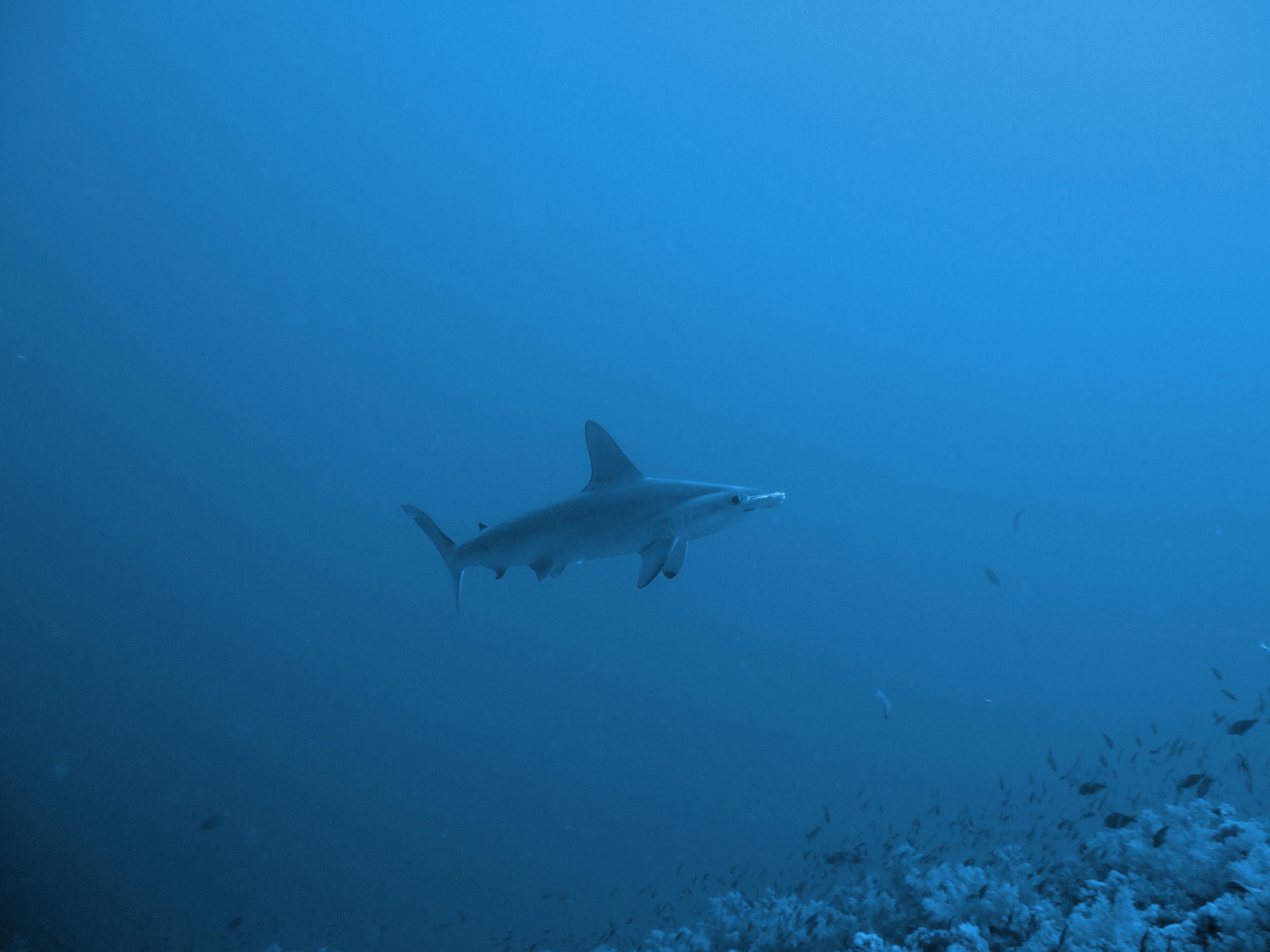 file elphinstone reef hammerhead shark jpg wikimedia commons