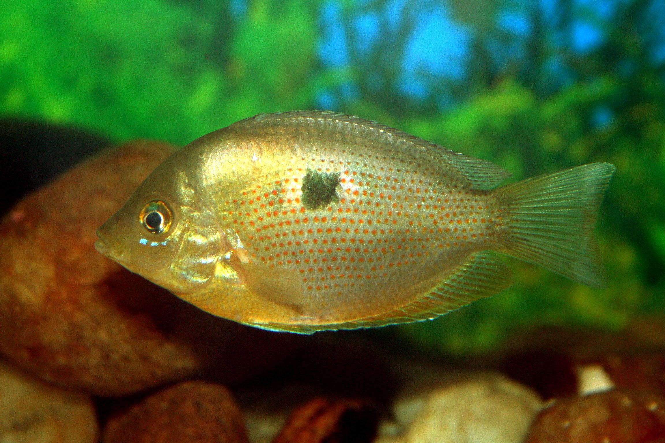 Punktierter Buntbarsch – Fische im aquarium