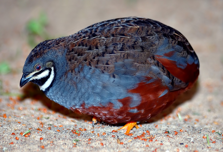 King quail - Wikipedia