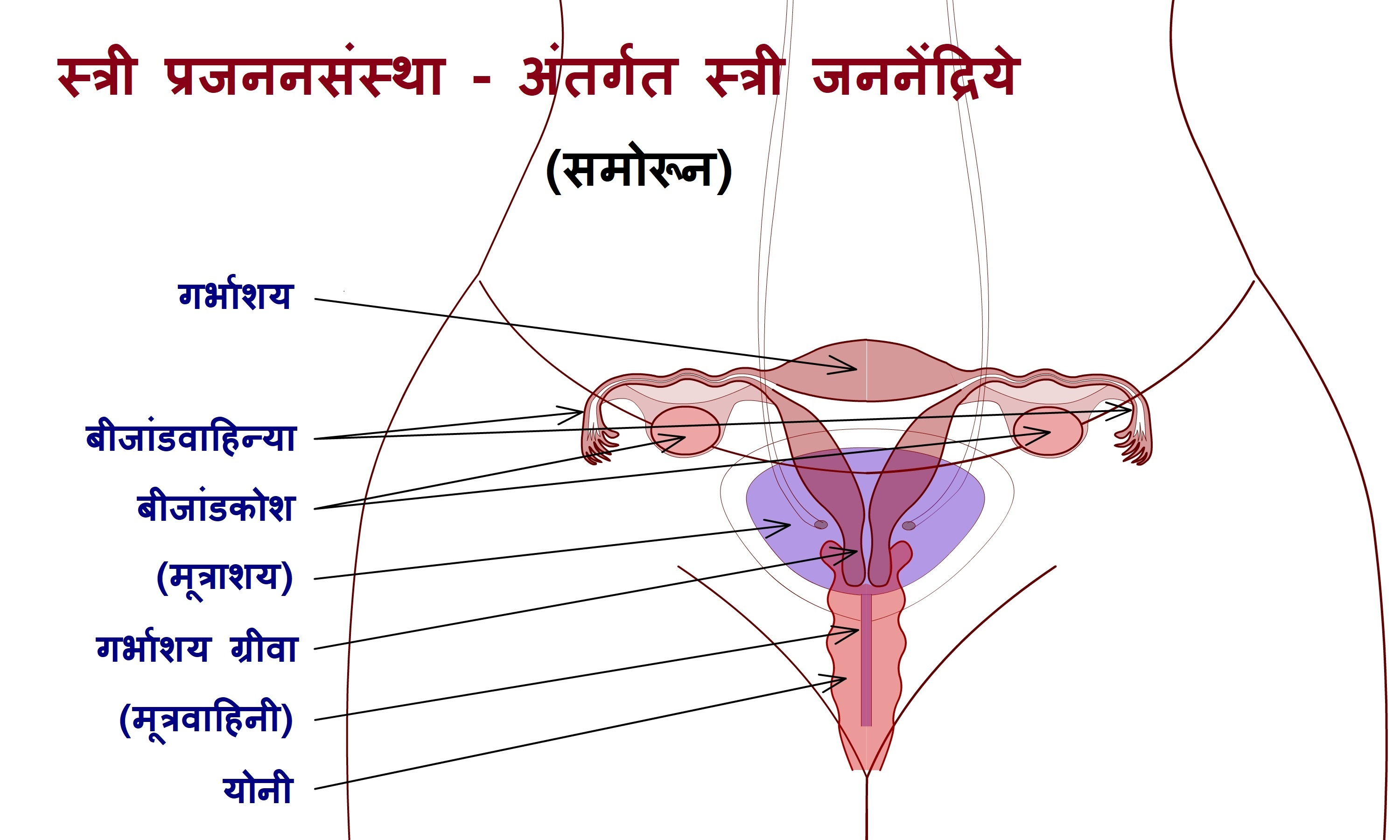 Filefemale Reproductive System Internal Sex Organs Frontg