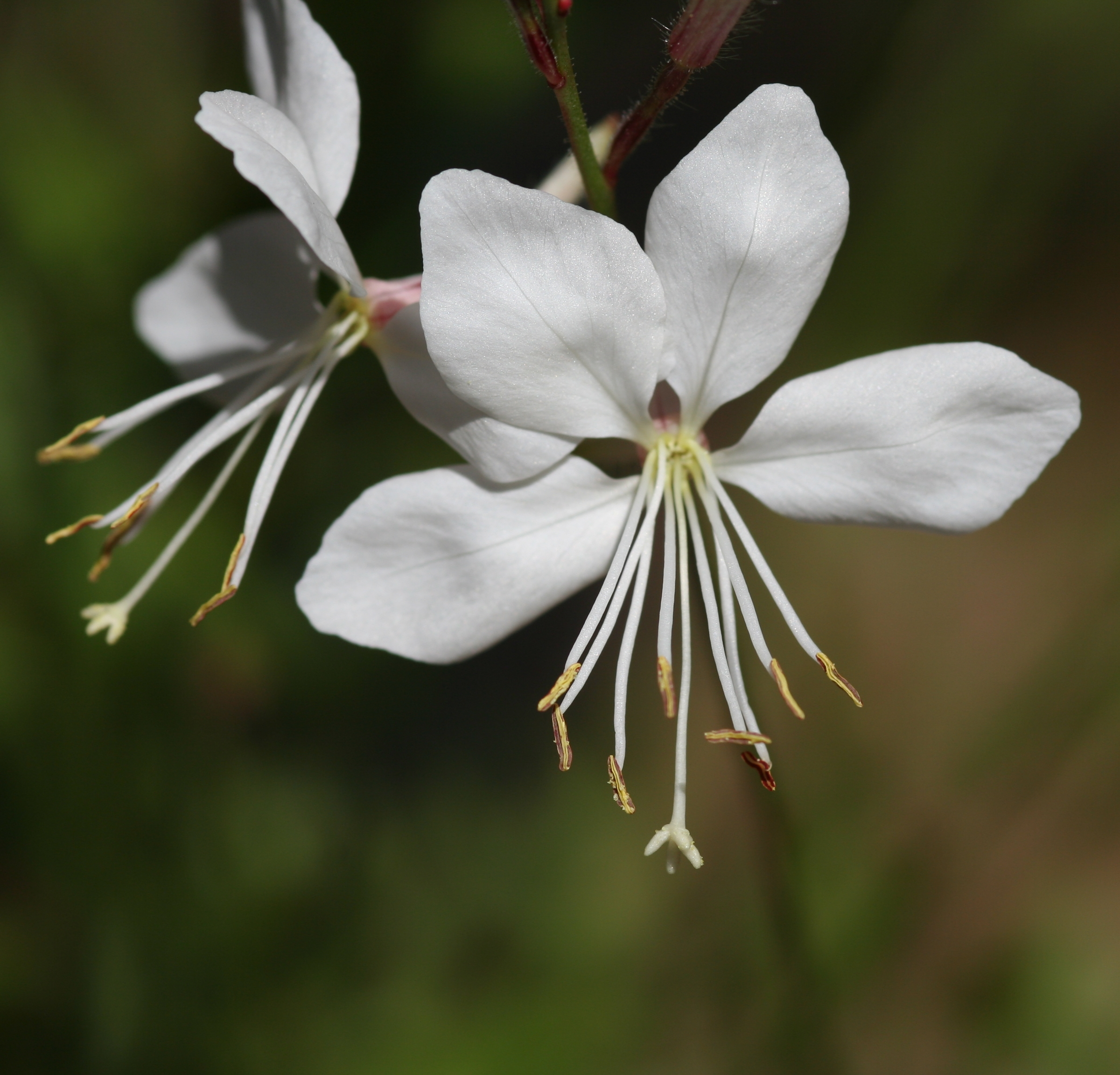 File Flower gaura lind white