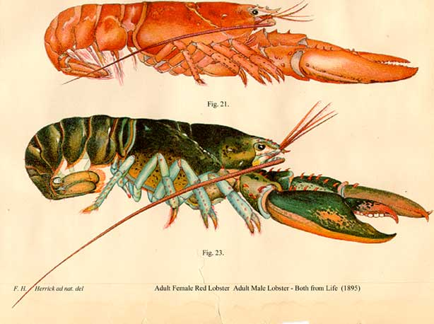 Female and Male Lobsters