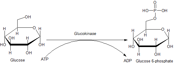 Action of glucokinase on glucose