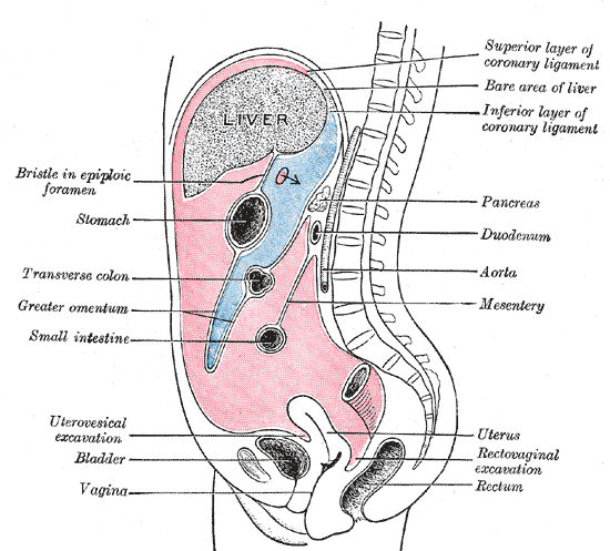 Intraperitoneal Large Intestine Diagram Labeled Product Wiring