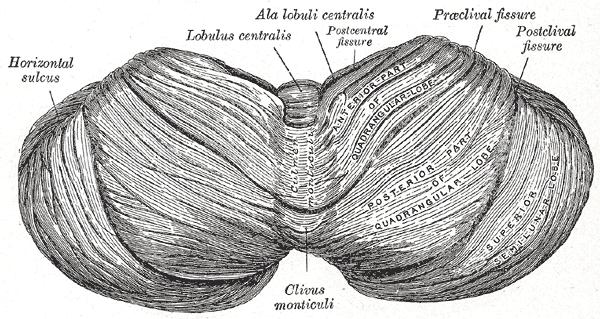 Culmen (cerebellum) - Wikipedia