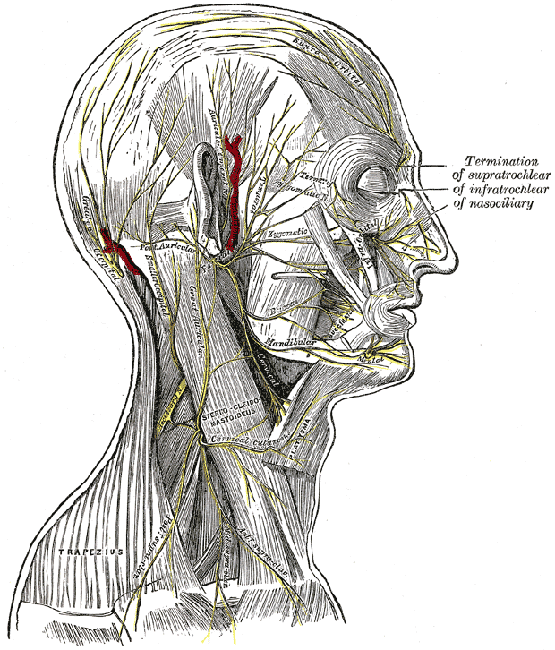 Temporal Branches Of The Facial Nerve Wikiwand