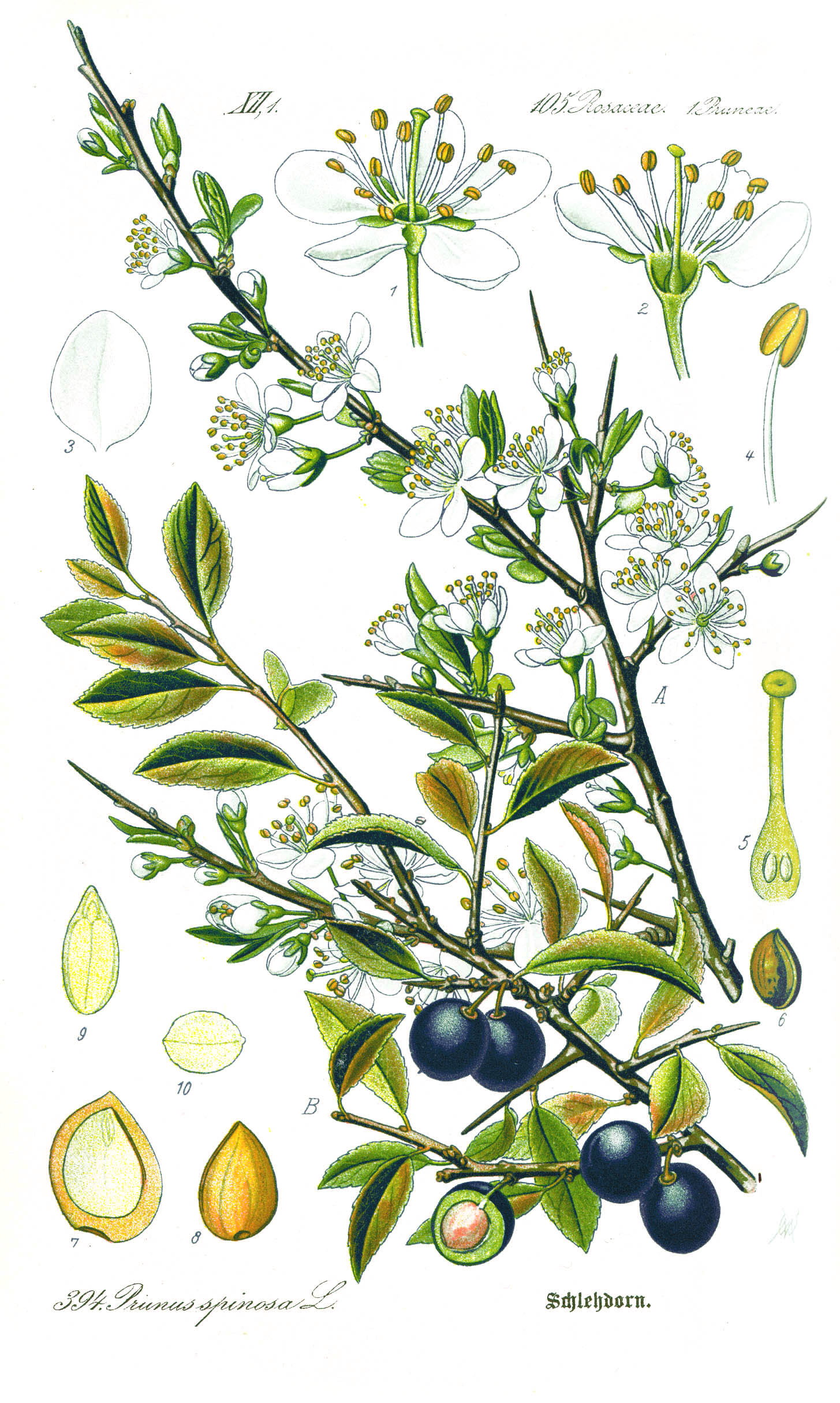 Depiction of Prunus spinosa