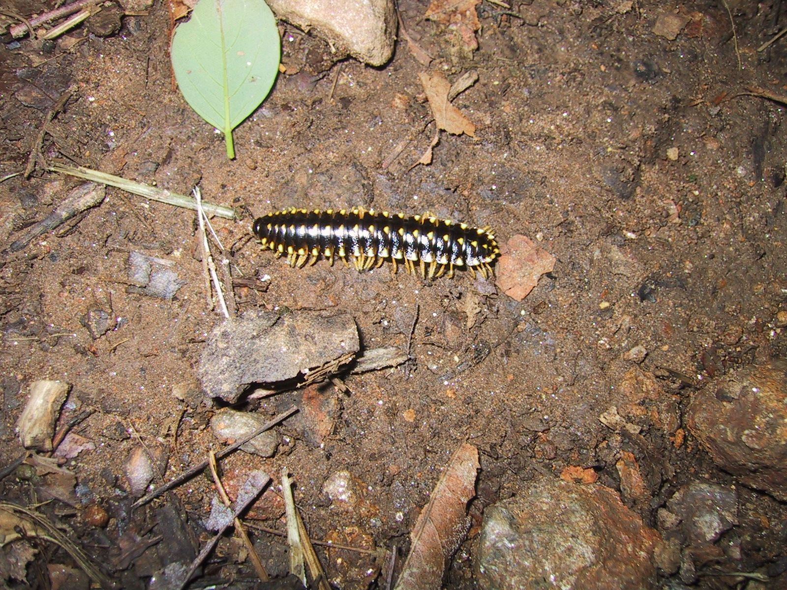 Image Result For Can A Centipede