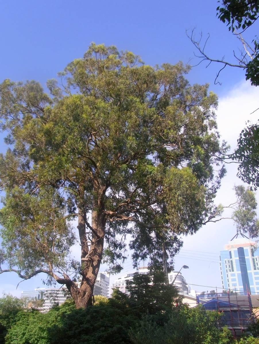 eucalyptus paniculata wikipedia. Black Bedroom Furniture Sets. Home Design Ideas