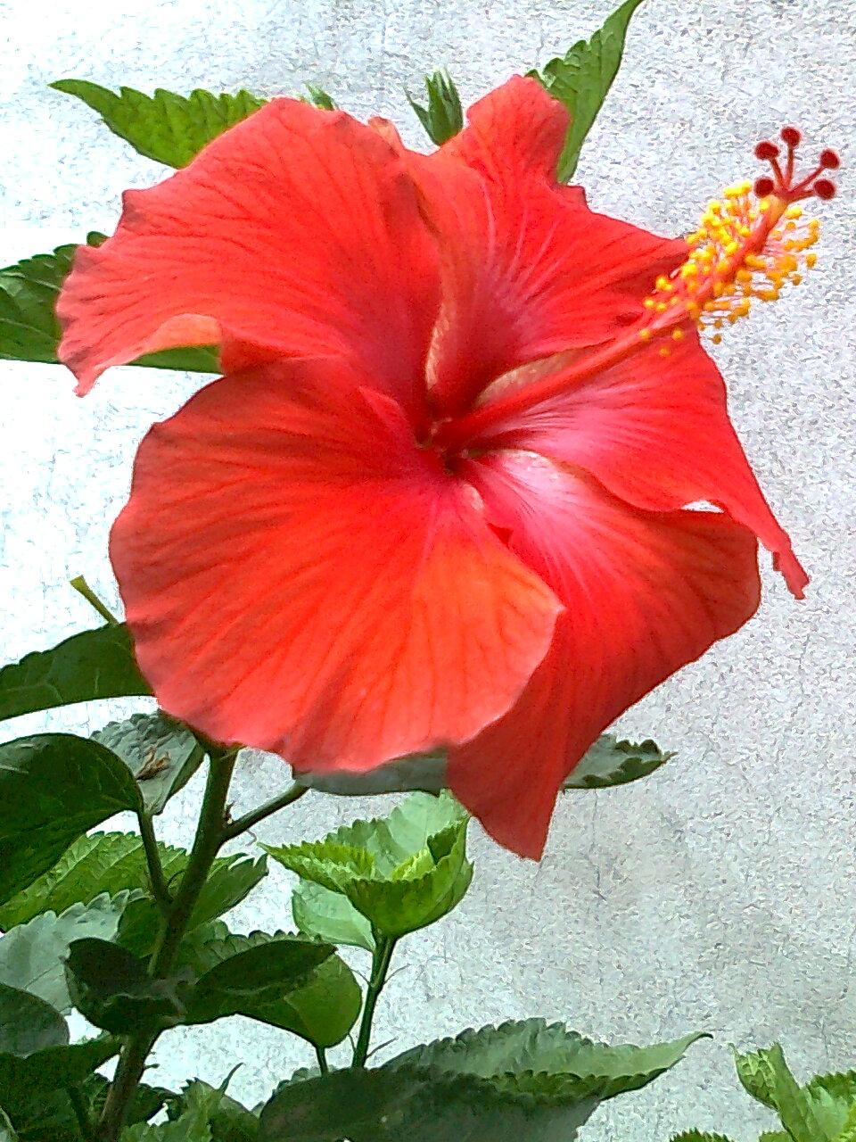 File Jaswand Flower 2 Jpg Wikimedia Commons