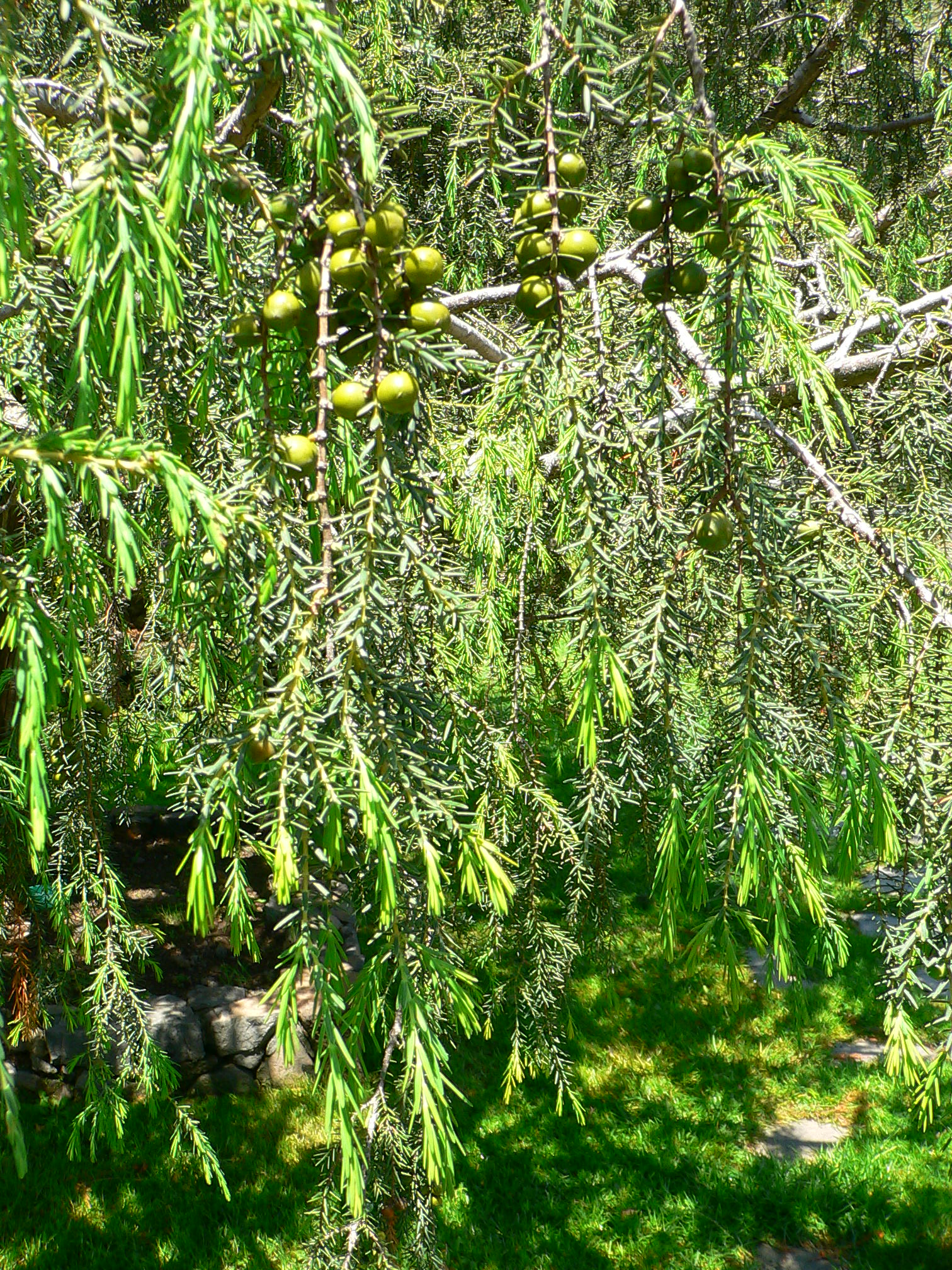 juniperus cedrus wikipedia. Black Bedroom Furniture Sets. Home Design Ideas