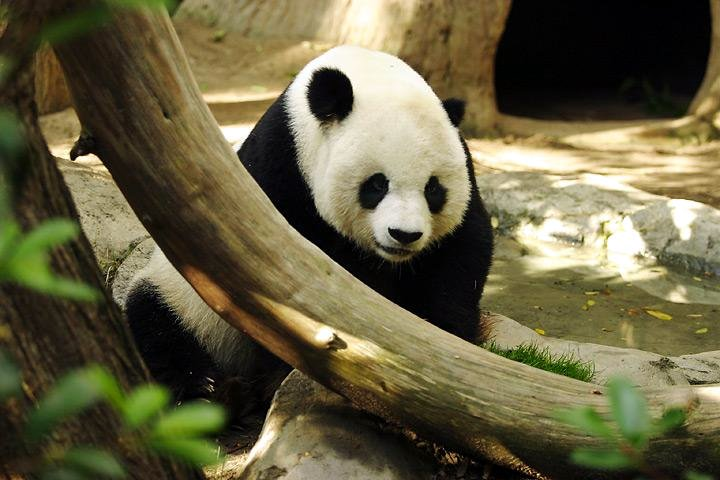 Image result for Giant Panda